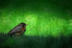 http:  taishimizu.com pictures Reflex Nikkor C 500mm f8 Review Mirror Catadioptric Lens bird in grass thumb.jpg