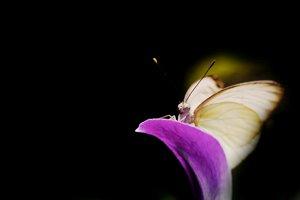 http:  taishimizu.com pictures butterflies nikon 105mm f4 macro micro butterfly 3 thumb.jpg