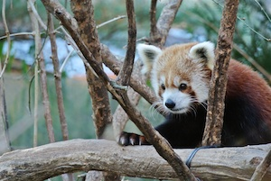 http:  taishimizu.com pictures nikon j1 review Nikon J1 30 110 red panda firefox thumb.jpg