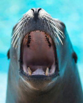 http:  taishimizu.com pictures nikon nikkor 80 200mm AF f2 8D ED sea lion yawn thumb.jpg